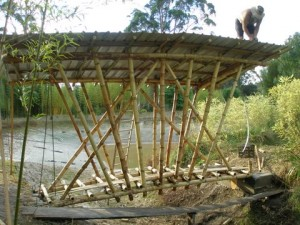 Pemberton, Western Australia bambusa balcoa
